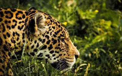 My Priestess Journey with Jaguar